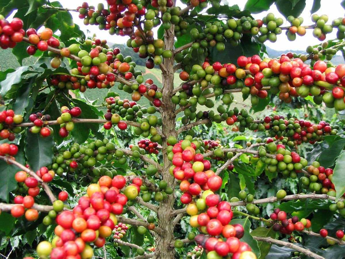 A coffee for the birds: from cultivation to conservation