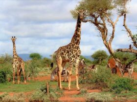 Being tall: the giraffe problem