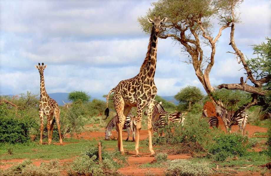 Being tall: the giraffe problem