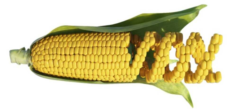 GMOs: useful for combating micronutrient deficiency
